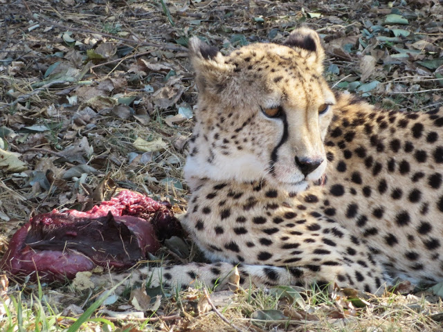 lion-safari-park-south-africa