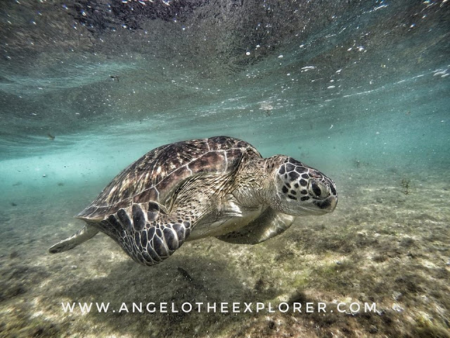 turtles swimming on apo island