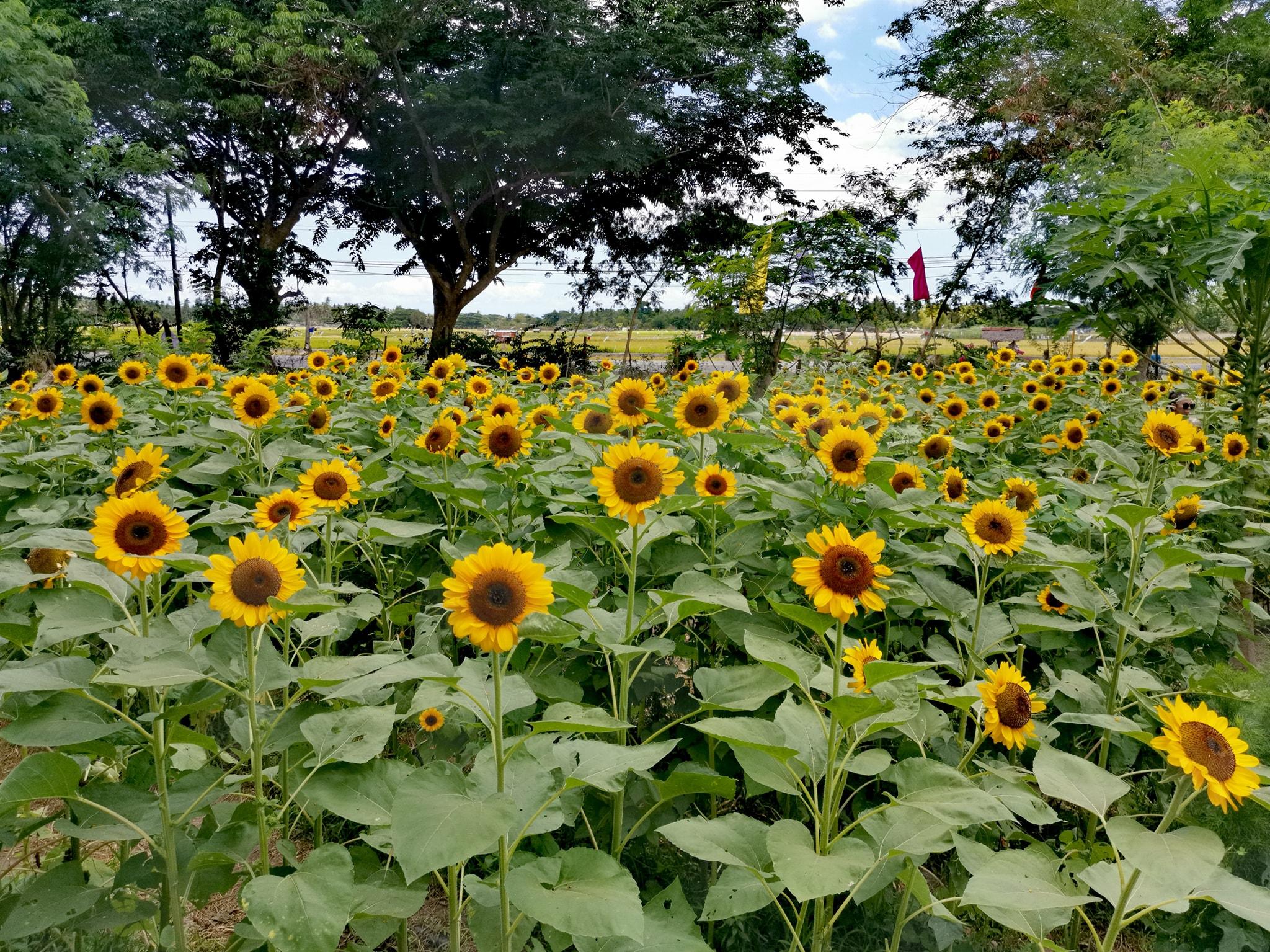 sunflower-farm-marinduque (2)