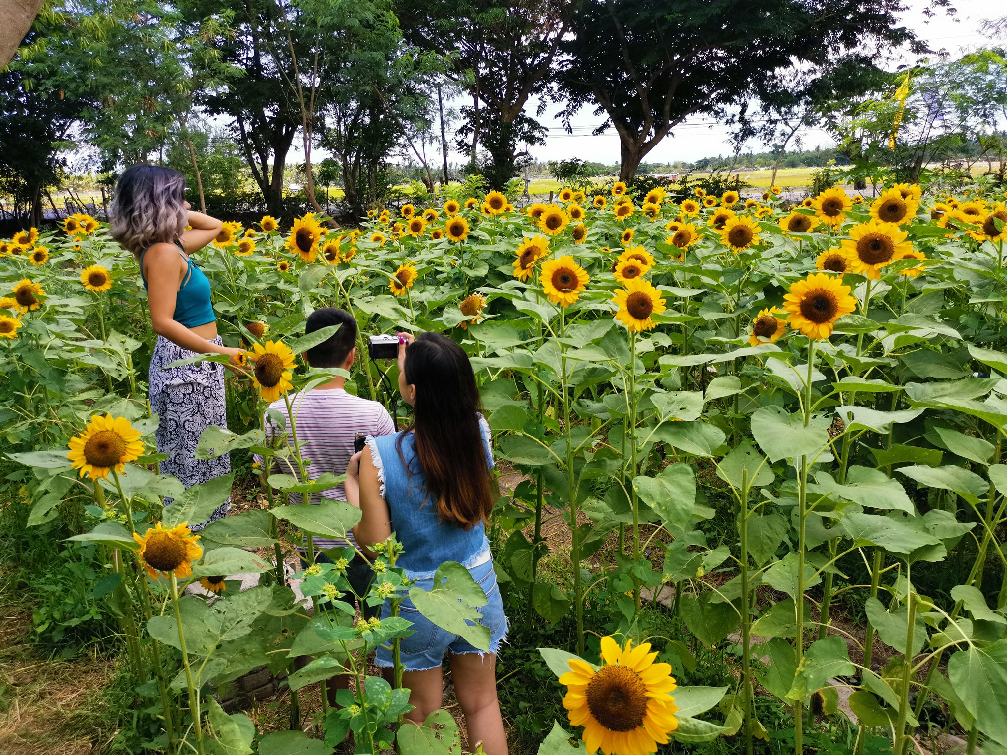 sunflower-farm-marinduque (3)